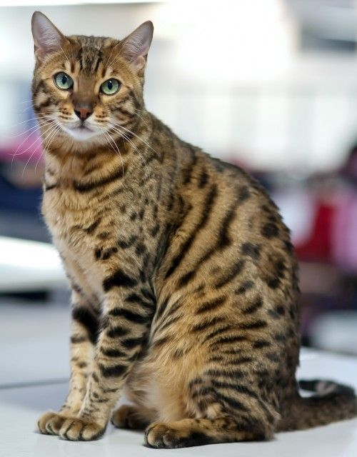 13 Smartest Cat Breed In The World Cat Breeds With Pictures Cat