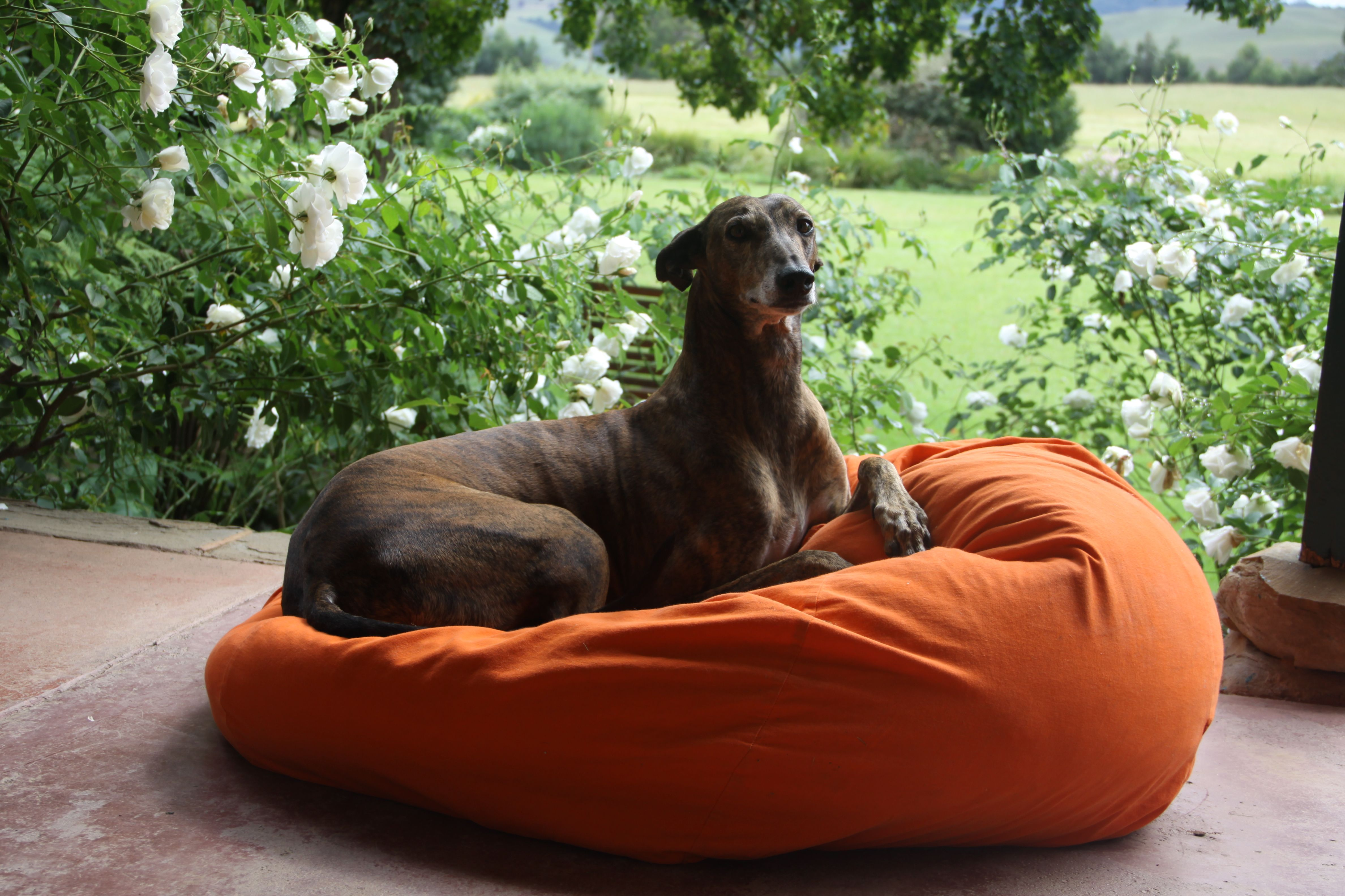Bones, the greyhound on his bean bag. Just the best dog