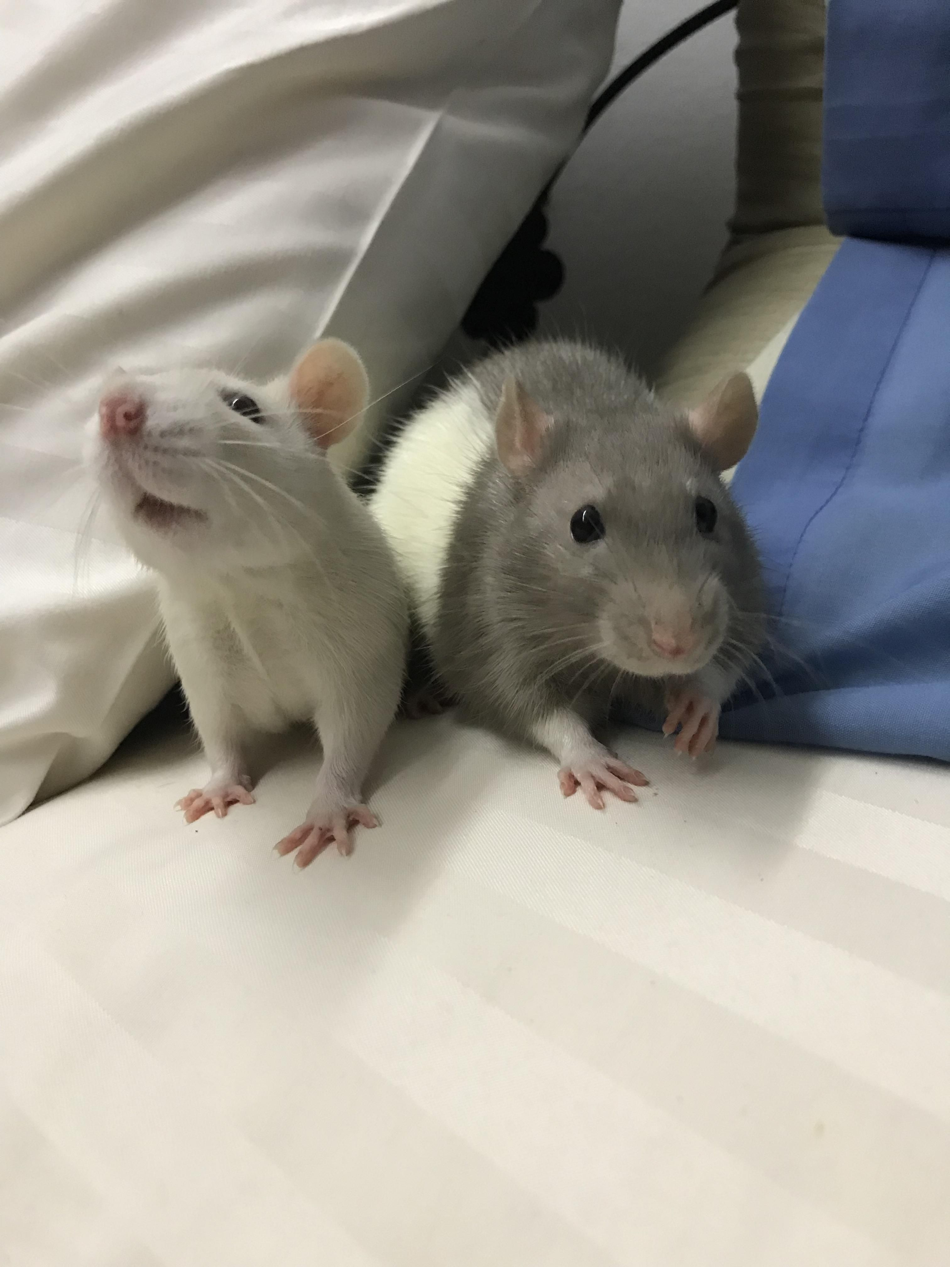 Chubs And Chubster Not Their Real Names Aww Cute Rat