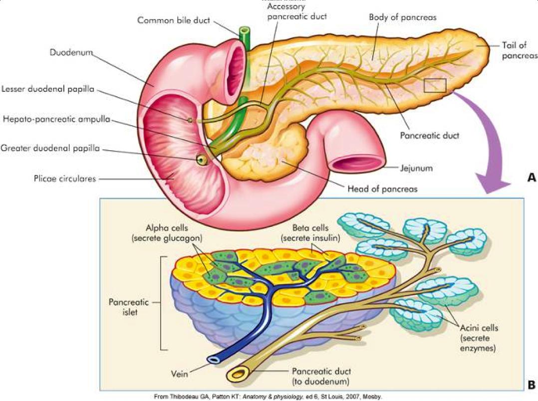 image endocrine for term side of card | MCAT prep | Pinterest