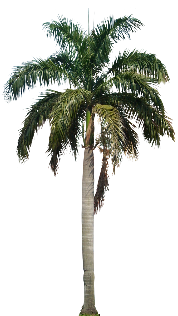 palm trees png | PNG_Trees_Palm | Pinterest | Palm ...