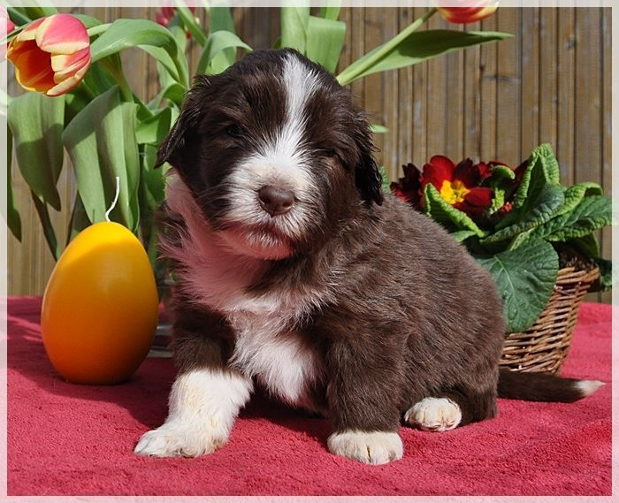 Pretty Bear Bearded Collies Bearded Collie Collie Welpen