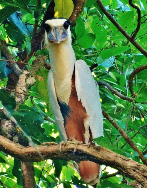 Foto arapapá (Cochlearius cochlearius) por Ivo Zecchin | Wiki Aves - A Enciclopédia das Aves do Brasil