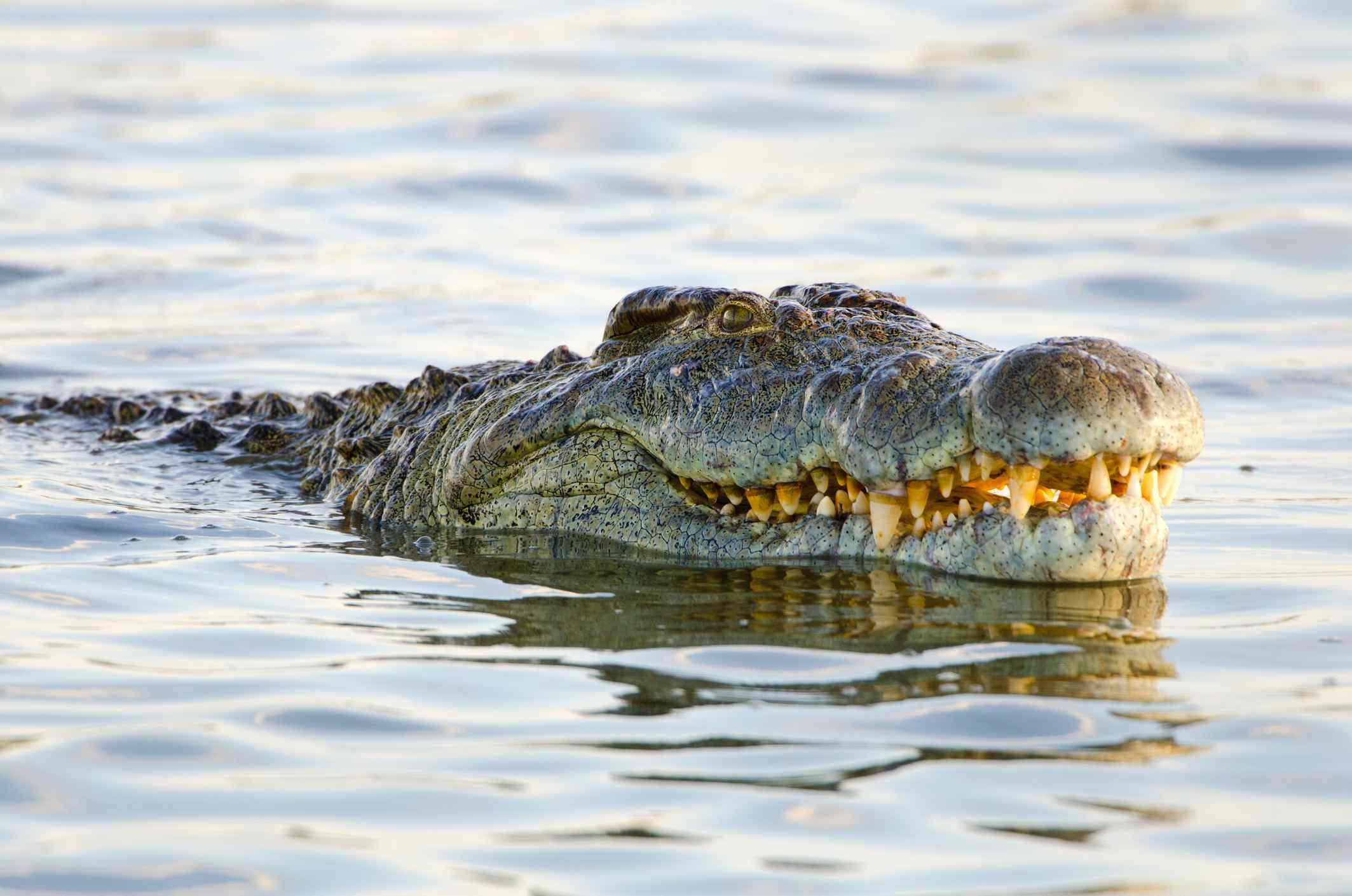 Giraffe Facts Habitat, Behavior, Diet Crocodiles