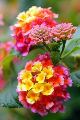 little yellow orange garden flowers | Lantana Flowers In Yellow Orange And Pink Colors - Download Links ...