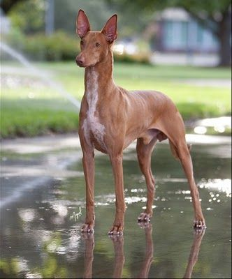 My next dog will be a pharaoh hound.   ...........click here to find out more     http://googydog.com