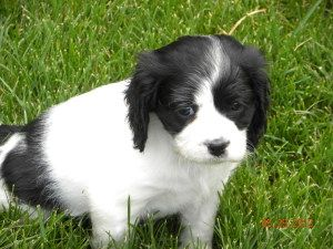 Adopt Olive Not Taking Applications On Petfinder King Charles Spaniel Spaniel Dog Cavalier King Charles Spaniel