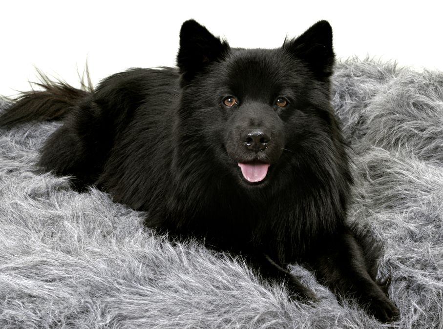 Pin Von Yaf Et Auf Dogs Hundebabys Eurasier Hunde Babys