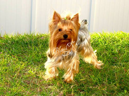 Yorkshire Terrier Champions Bloodline by Blessed Yorkies