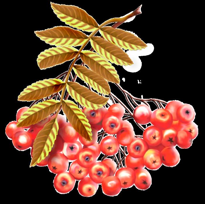 Картинка ветки рябины с ягодами