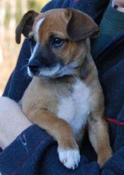 Chihuahua And Beagle Mix Mixed Breed Dogs Beagle Mix Dog Breeds