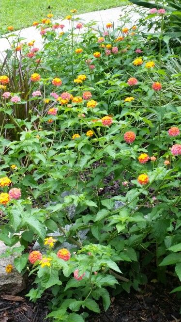 Miss Huff Lantana No People Front Flower Beds Trees To Plant