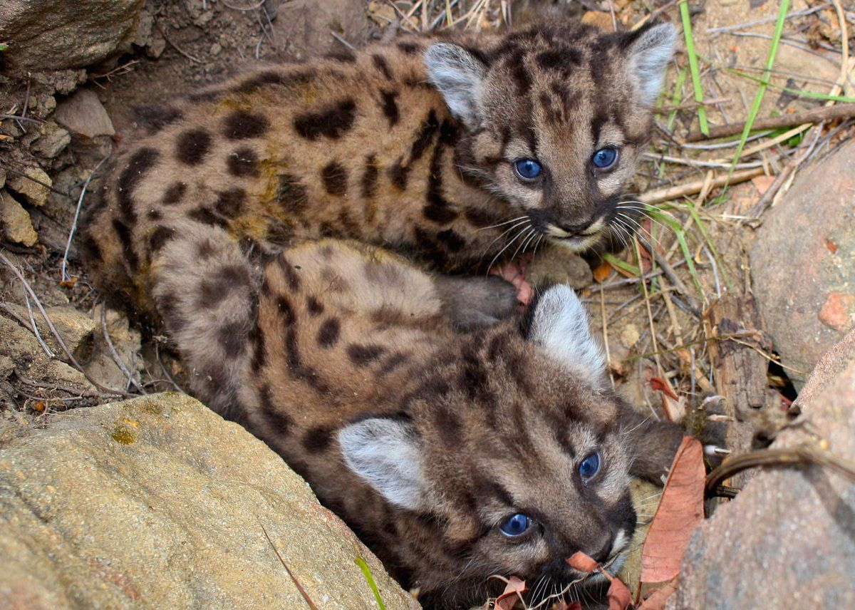 Baby Mountain Lions Cute Cats Photos Kittens Cutest Animals