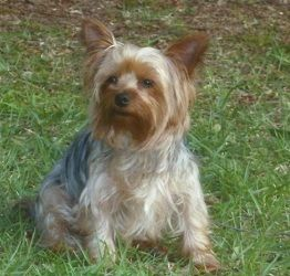 Adopt Dudley Adopted On Yorkie Dogs Yorkie Yorkshire Terrier Dog