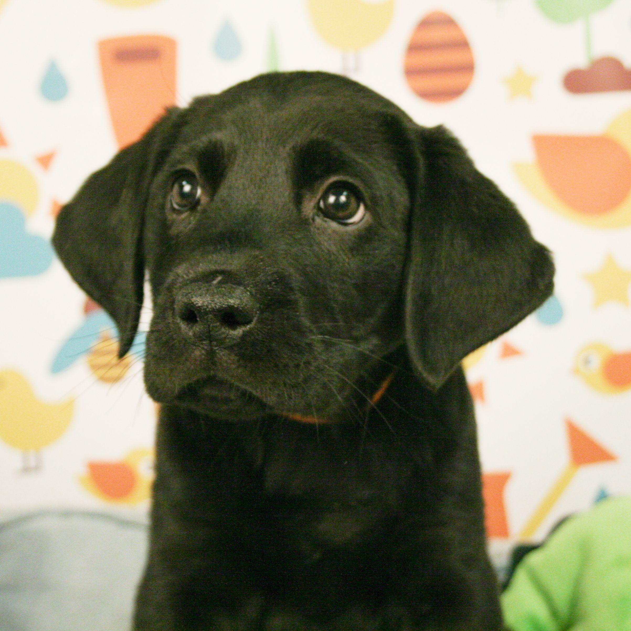 Labrador Retriever Puppies For Sale Puppies Labrador Retriever Labrador Puppy Training
