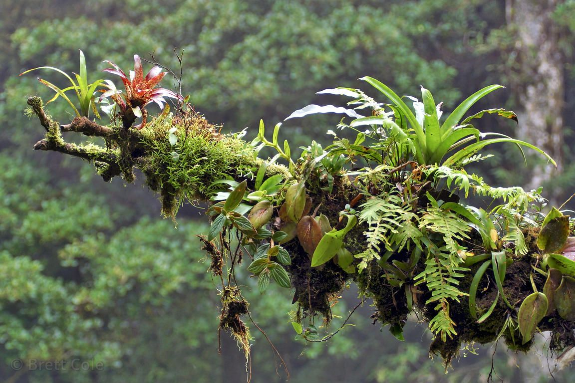 Epiphyte covered branch showing bromeliads, ferns, orchids
