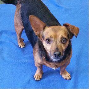 Dorgi Dog For Adoption In Shreveport La Adn 678551 On