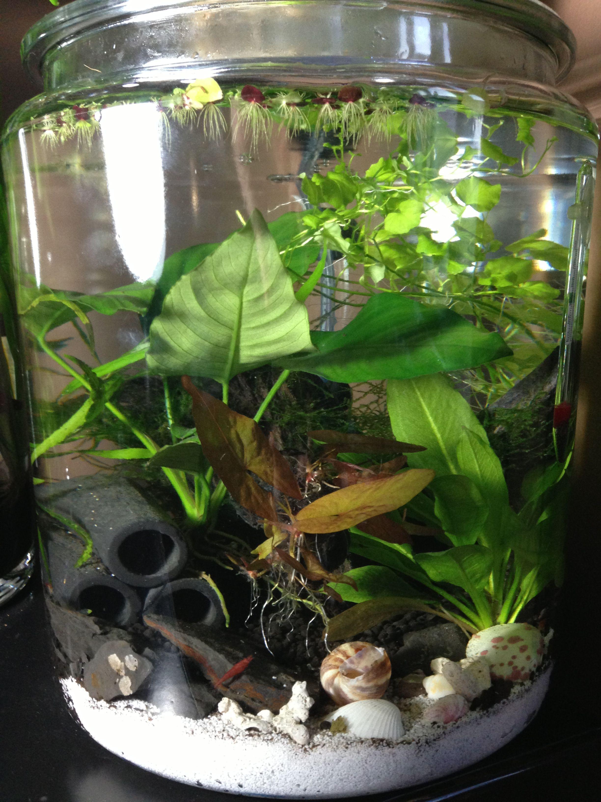 3 Gallon Planted Jar Aquarium With Red Cherry Shrimp Freshwater Aquarium Plants Planted Aquarium Red Cherry Shrimp