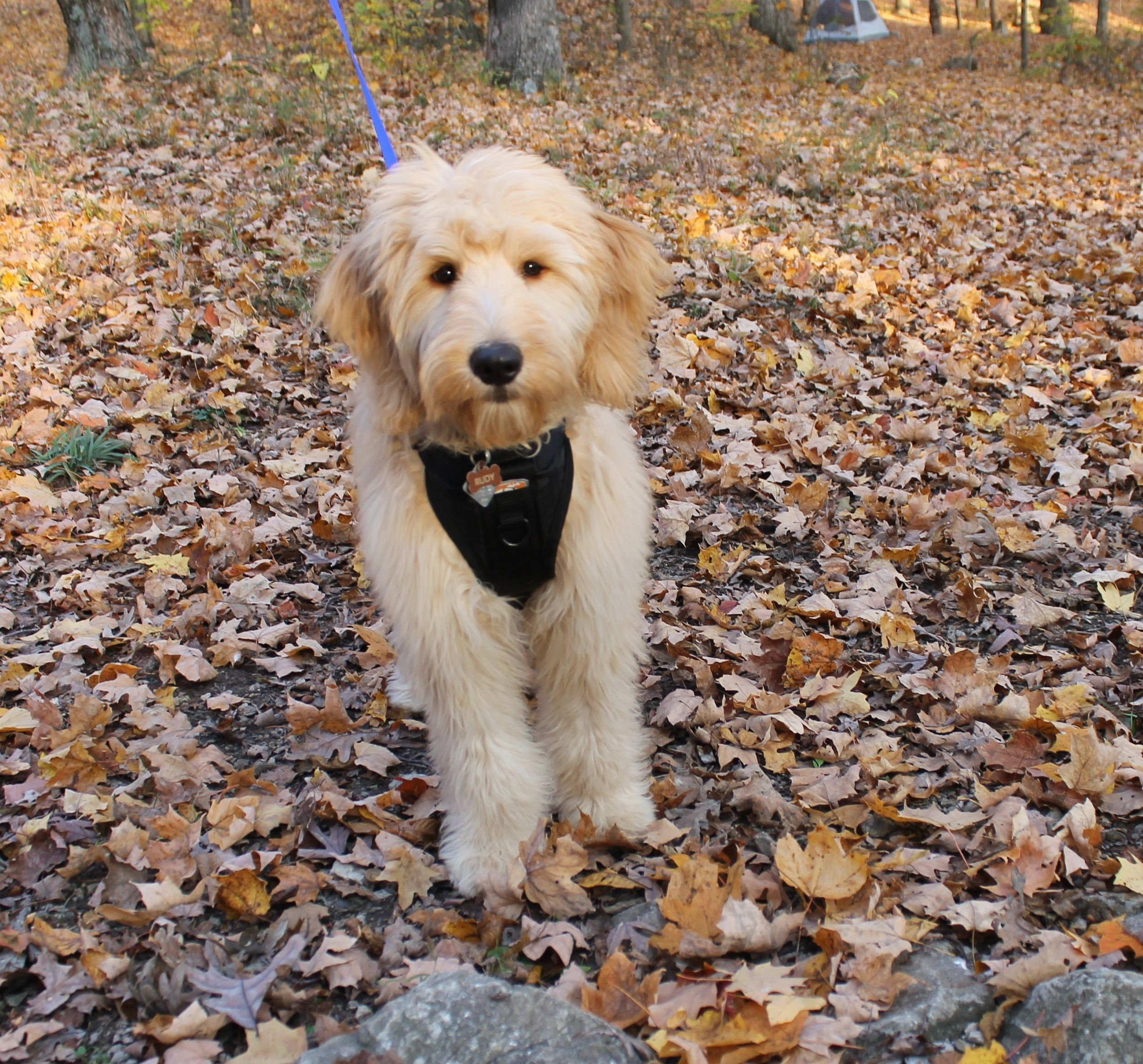 4 Tips for Camping with Your Puppy | Puppies, Camping ...