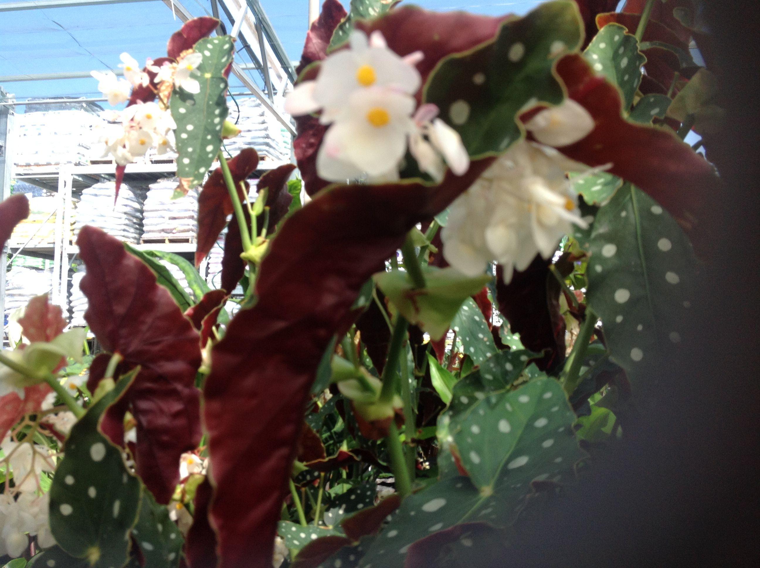 Pin On Hawaiian Plants
