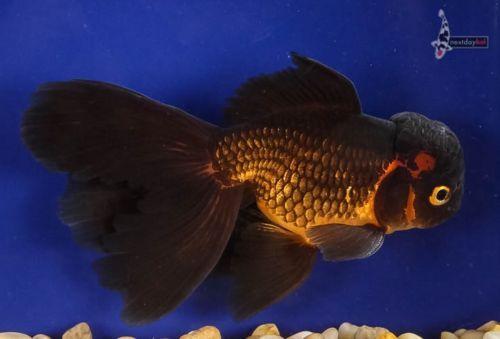 5 5 Red Black Oranda Live Goldfish For Koi Fish Pond Nextdaykoi Ndk