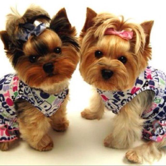 Omg So Sweet It Hurts My Teeth Mit Bildern Yorkie Welpen Kleidung Fur Hunde Niedliche Tierbabys