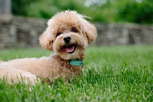 Cheap Puppies For Sale In New Hampshire In 2020 Dog Breeds Dog Allergies Training Your Dog
