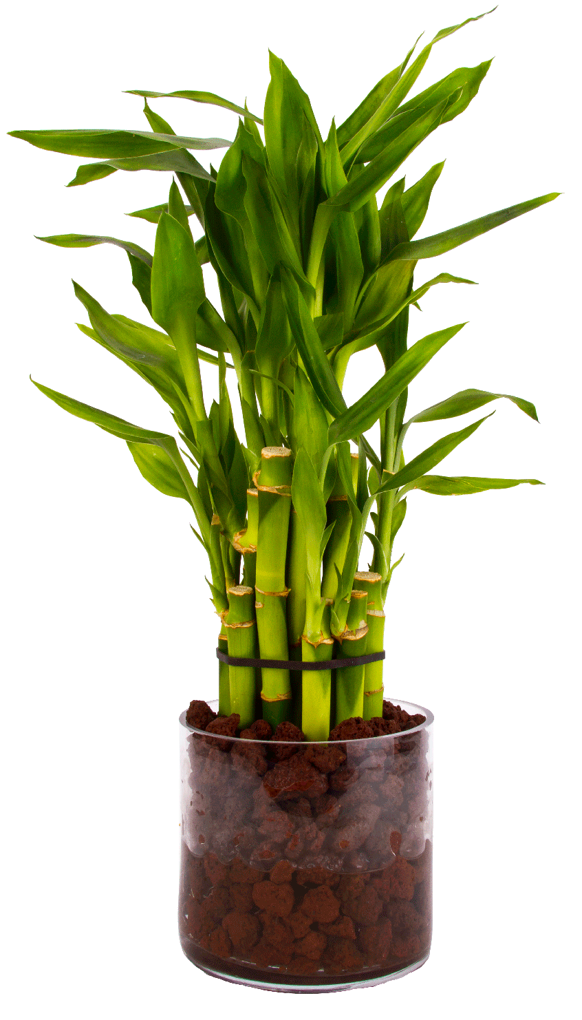 Lucky Bamboo in Glass Vase with Lava rock | Bamboo ...