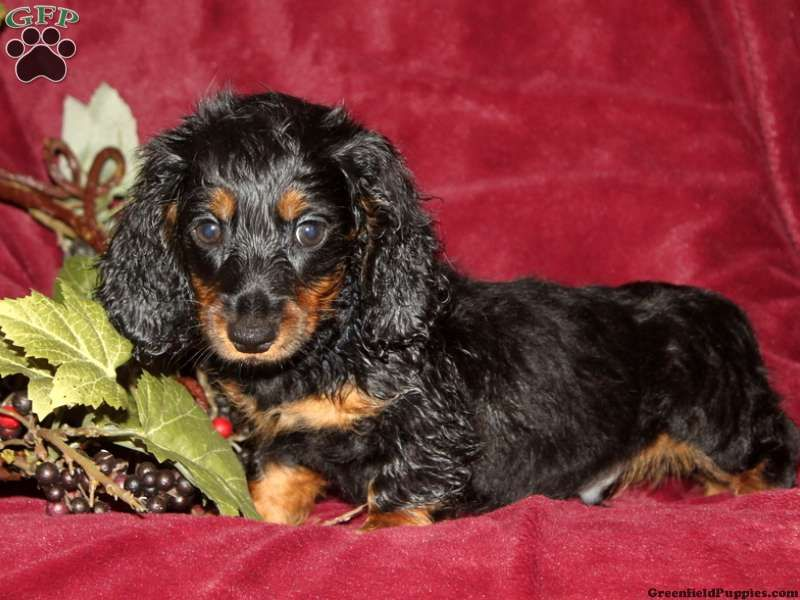 Dachshund Puppies For Sale In PA looks just like my Kiki
