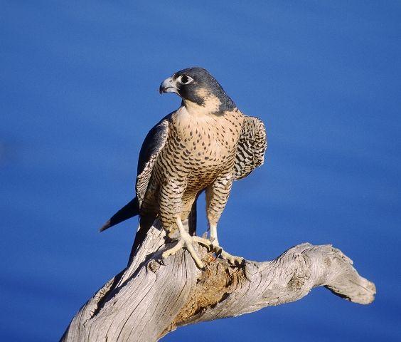 Peregrine Falcons Peregrine Falcon Peregrine Wildlife Animals