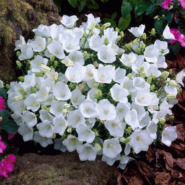 karpaten glockenblume wei 9 cm topf t pfchen pflanzen. Black Bedroom Furniture Sets. Home Design Ideas