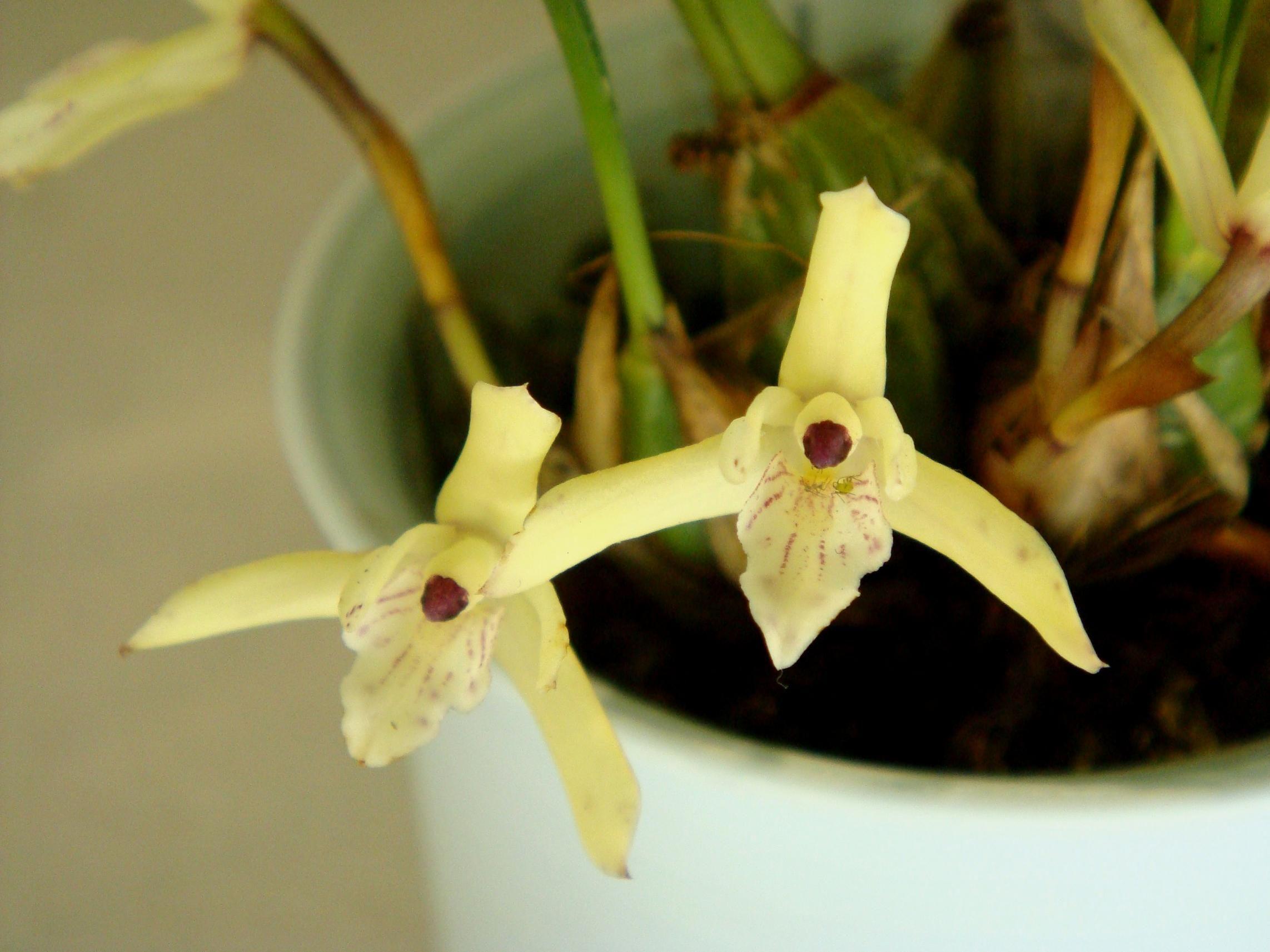 maxillaria kautskyi