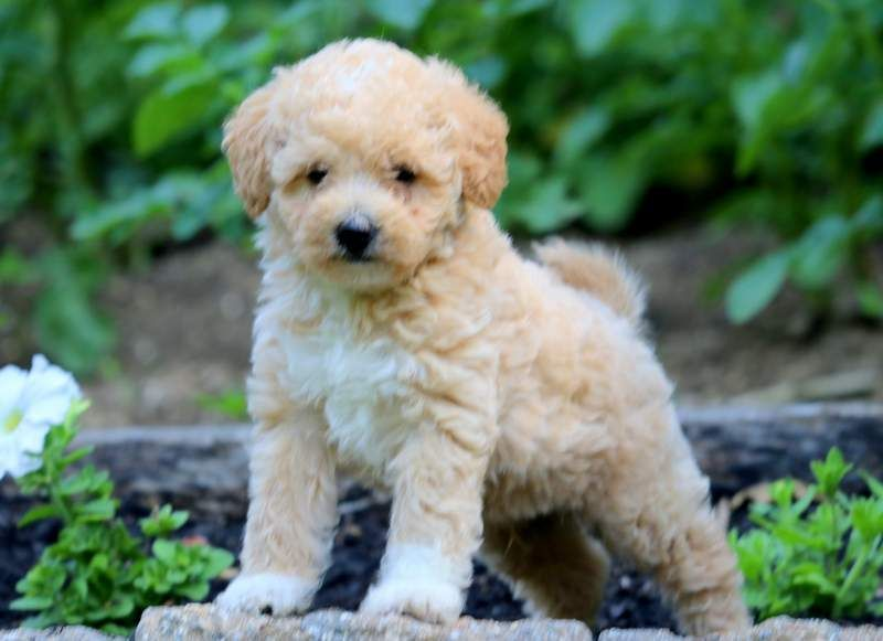 Arnie Labradoodle Miniature Puppy For Sale Keystone Puppies Mini Labradoodle Puppy Puppy Adoption Puppies For Sale