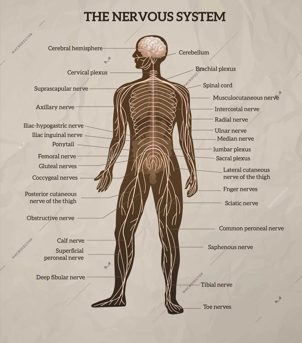 Nervous System Diagram Brain - Human Brain and Central ...