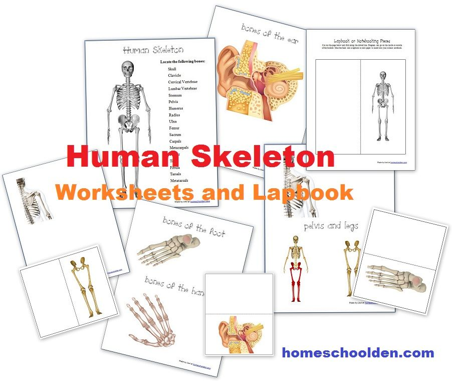 HumanSkeleton-Worksheets-Lapbook | Human Anatomy | Pinterest