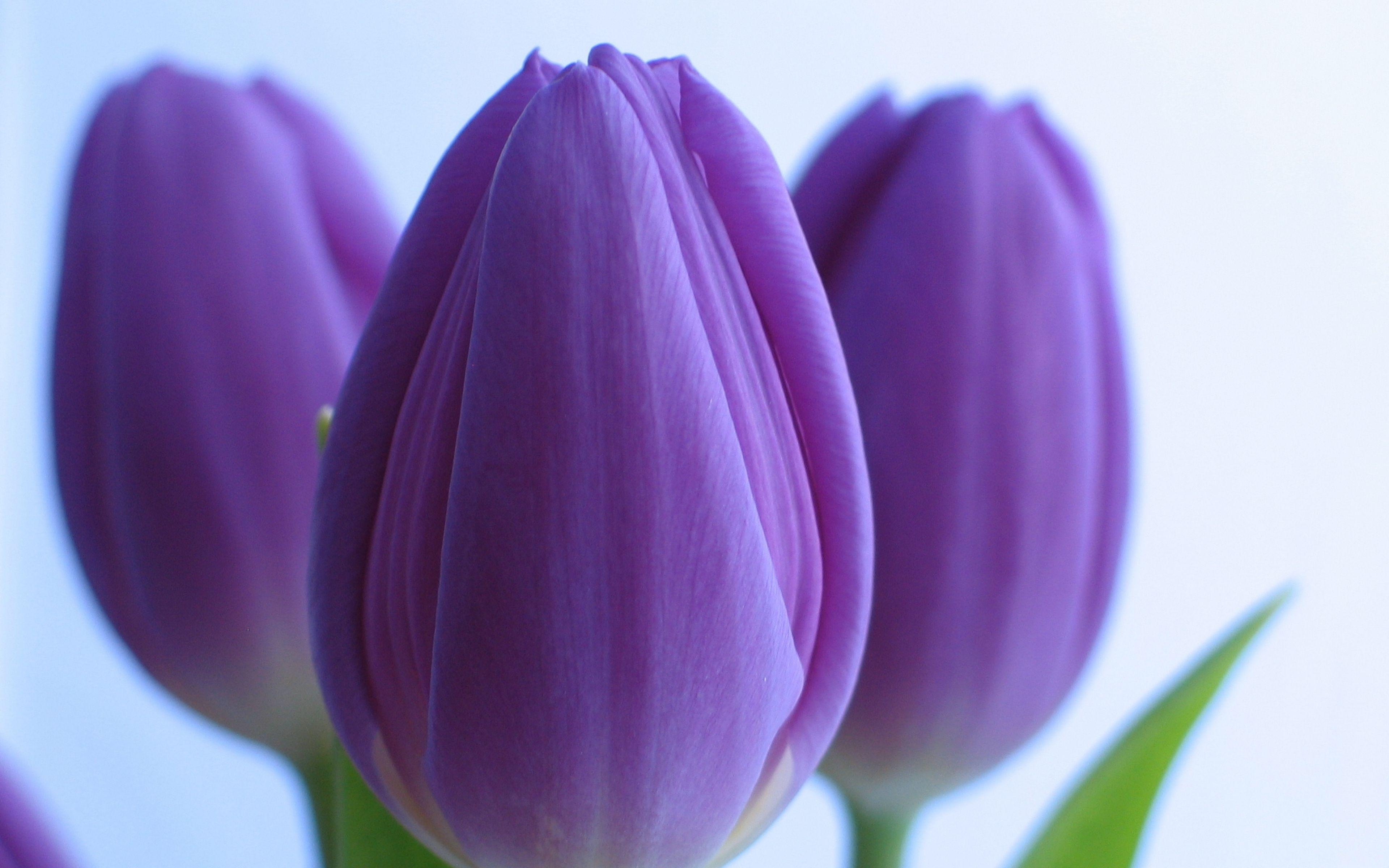 Purple Tulips Wallpaper X