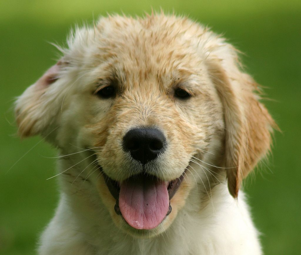 Puppy Golden Retriever Puppy Smiles At You Animales Perros