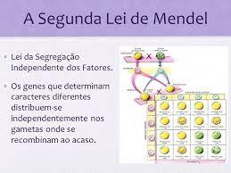 Segunda Lei De Mendel Leis De Mendel Estudos Para O Enem