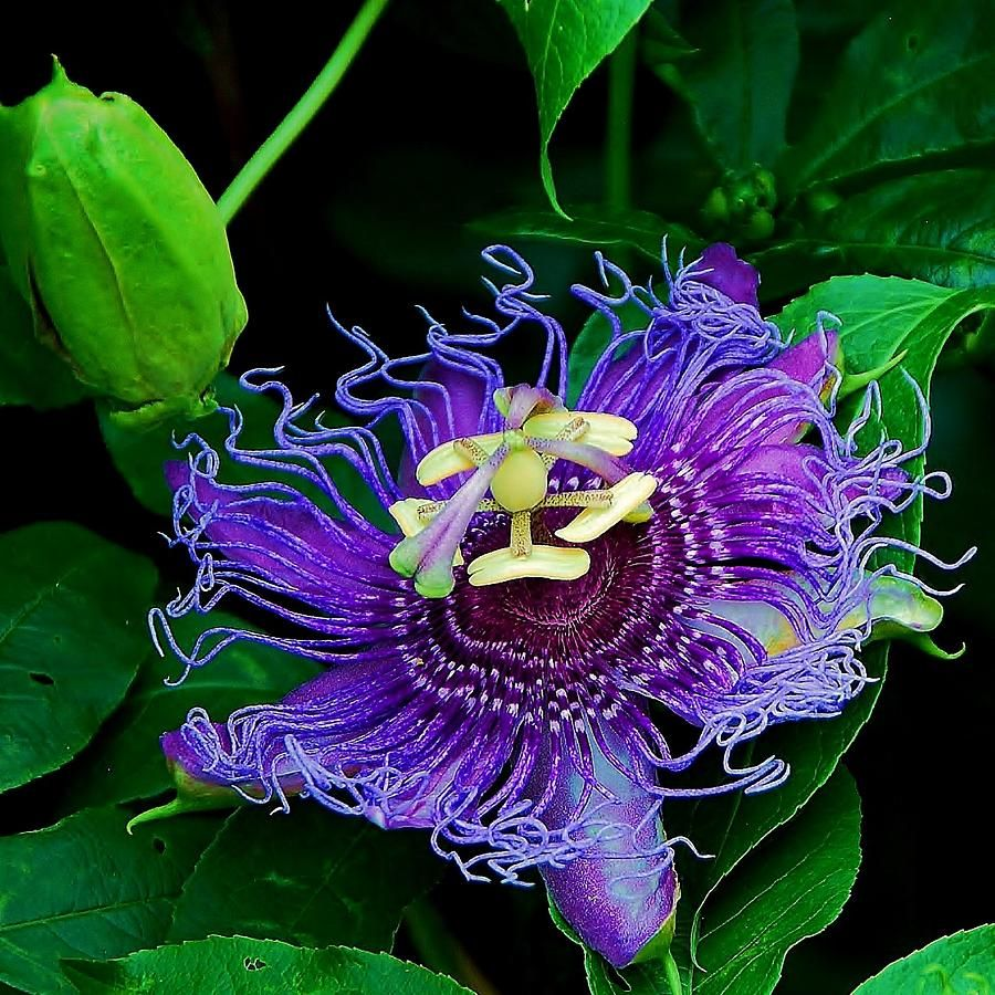 Purple Passion Flower Vine By Tammy Dial Gray Passion Flower Amazing Flowers Purple Passion Flower