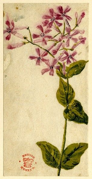 Flower study several small pink mauve star shaped flowers issuing flower study several small pink mauve star shaped flowers issuing from one stem mightylinksfo Choice Image