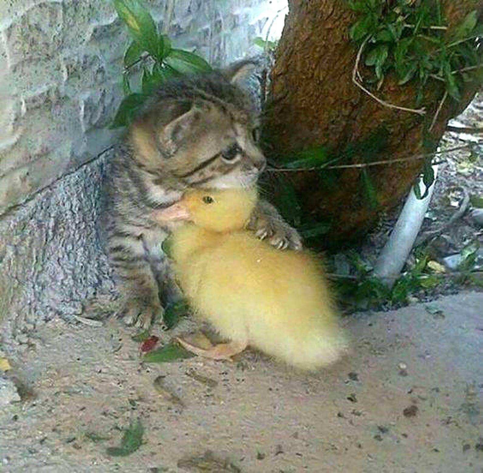 Duck And Kitty Bonding Https Ift Tt 2ucudss Cute Puppies Cats Animals Cute Baby Animals Cute Animals Animals Friendship