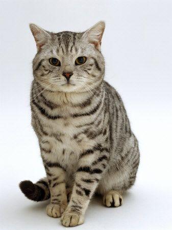 British blue cat tabby