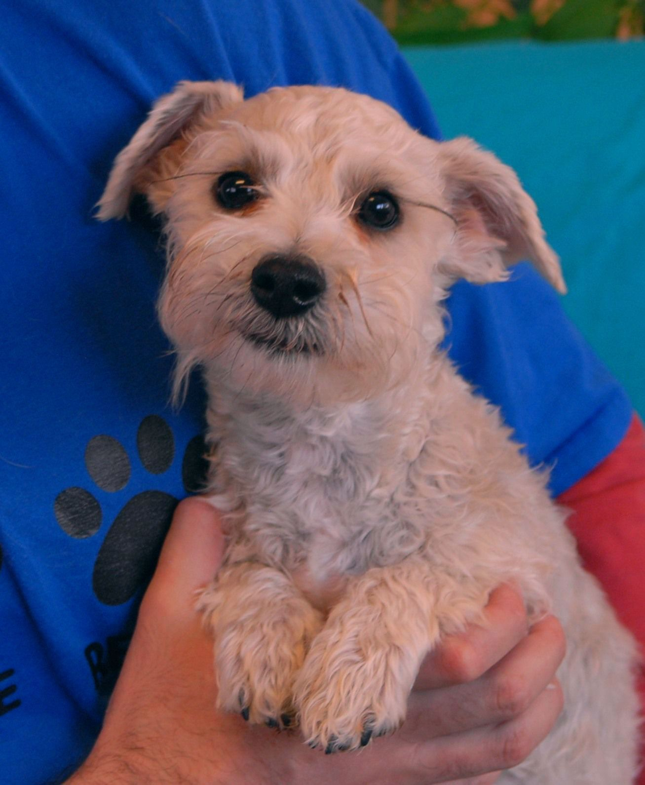 Schnauzer Maltese Mix Puppies For Sale Goldenacresdogs Com Schnauzer Mini Puppies For Sale Puppy Adoption Mauzer M In 2020 Schnauzer Mix Cute Small Dogs Mini Puppies