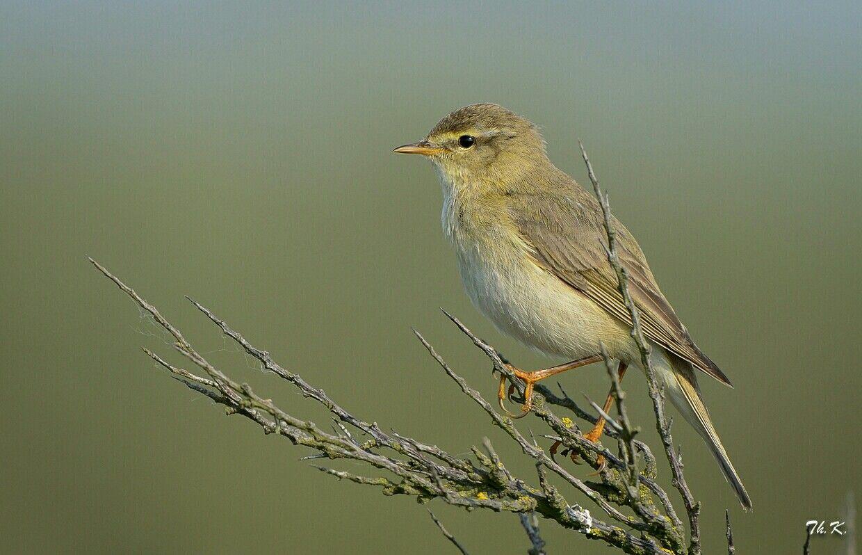 Pin Van Maria De Jong Rinia Op Birds Vogels Fitis