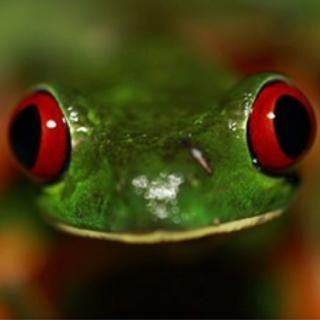 FUNGAL FILTER: The red-eyed tree frog has so far been spared from extinction, unlike the many species of amphibians in Central America that have been wiped out by the fungal disease, chytrid.