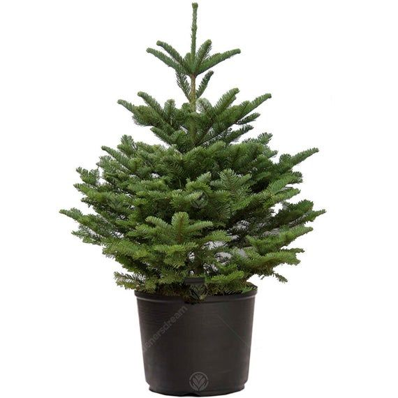 PRE-ORDER* Noble Fir Pot Grown Christmas Tree - Real Live Fresh Living Potted Plant | Potted ...