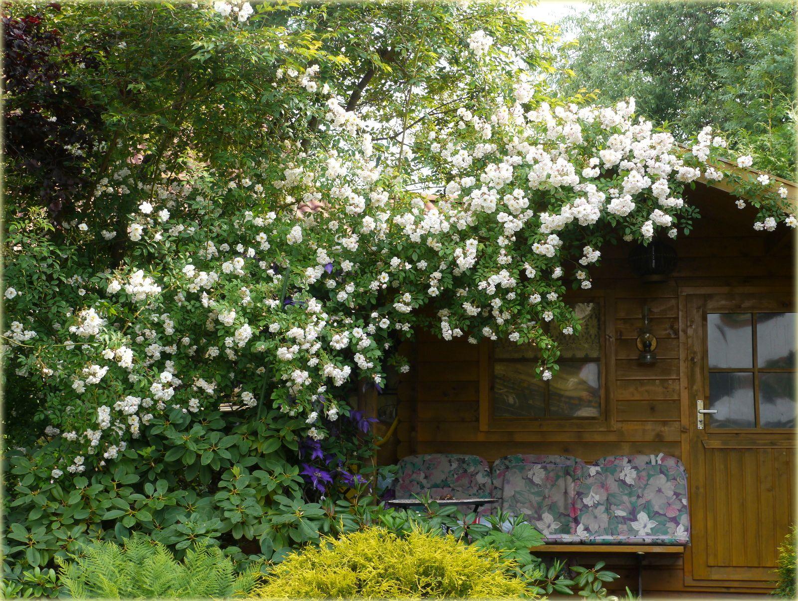 Gräsergarten Bilder ramblerrose am gartenhaus bilder und fotos garden