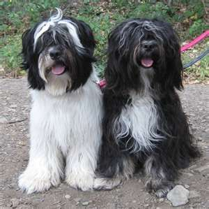 partners in crime. Tibetan Terriers - Hunde Foto Album
