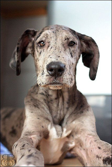 Blue Merle Great Dane Puppy At 4 Months Old Wowow Merle Great