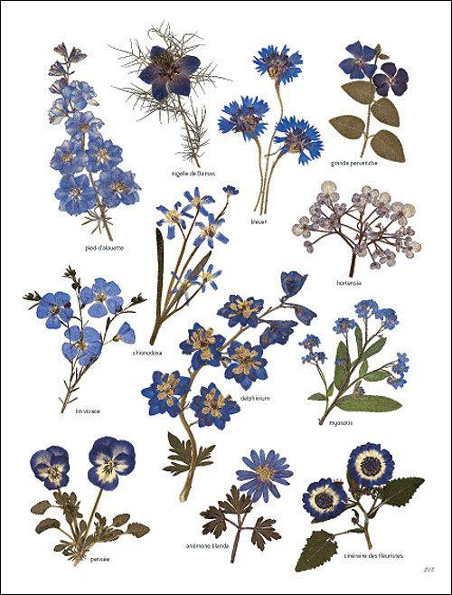 Fleurs Bleuâtres #herbier
